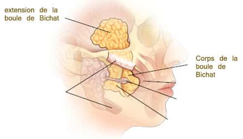 boule-de-bichat-anatomie